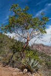 Texas Madrone, Arbutus, xalapensis, tree high in the Chisos Mountains, Big Bend National Park, Texas, USA